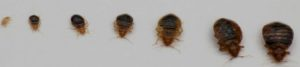 Bed Bugs in Westchester